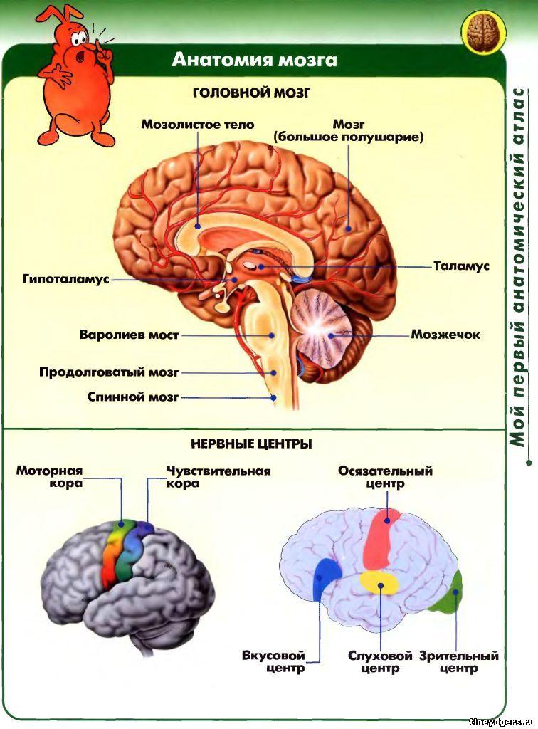 анатомия головного мозга рисунки