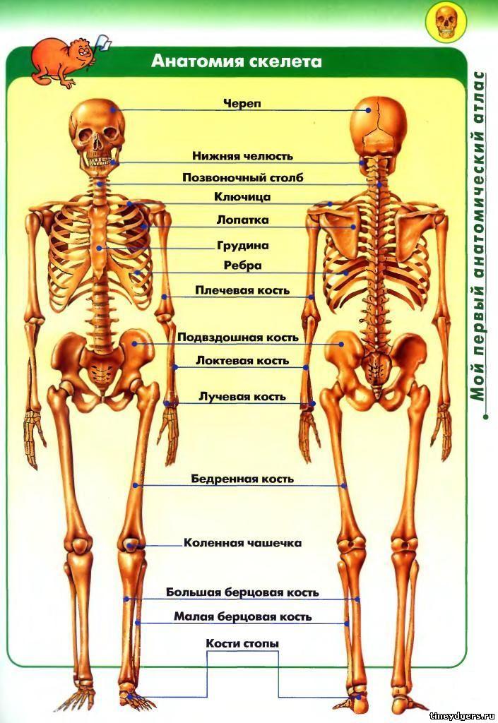 Кости человека анатомия рисунки